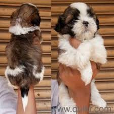 shihtzu we offers diwali festival world best toy breed dog puppies available in mumbai navi mumbai thane dadar ghatkopar virar vasai dombivli kalyan
