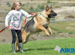 german shepherd attack victims. Simple Attack A1K9 Family Protection Dog 15 With German Shepherd Attack Victims I