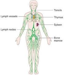 The Lymphatic System Diagrams Function And Role Immune