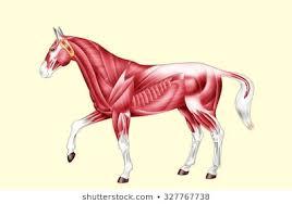 Horse Anatomy Images Stock Photos Vectors Shutterstock