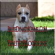 xl tri color bully pitbulls puppies pocket tri color bully pitbulls puppies for brute bloodline tri color xl pocket bully pitbull puppies for