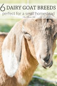 Dairy Goat Breeds 6 Dairy Goat Breeds Perfect For A Small Homestead Mini Farming