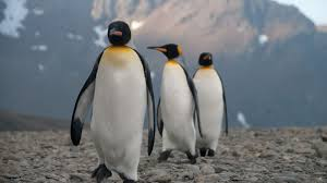 King Penguin Populations Could Shrink By 70 Percent In 80