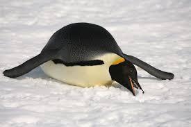 emperor penguins eating. Interesting Eating Emperor Penguin Eating Snow With Penguins Eating G