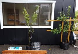 How To Graft Fruit Trees Nz Grafting Fruit Trees Cleft Grafting Triple Grafted Fruit Trees