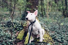 bull terrier pitbull mix. Fine Pitbull Picture Credit Getty Images And Bull Terrier Pitbull Mix B