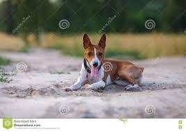 Basenji Dog Walking In The Park Stock ...