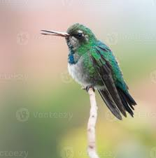 Glittering-bellied Emerald Stock Photo