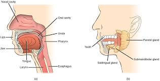 Accessory Organs Of The Mouth