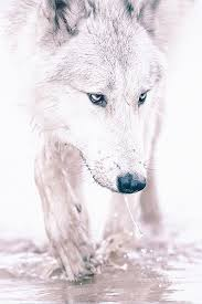 white wolf iphone wallpaper. Fine White FREEIOS7  Whitewolf  Parallax Iphone Wallpaper Download Wallpapers At  FREEIOS7COM In White Wolf Iphone Wallpaper H
