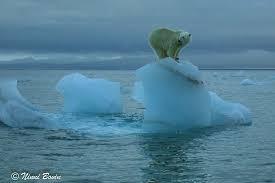 Bildresultat för isbjörnar