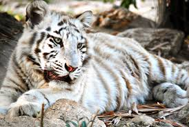 white tiger with blue eyes in snow. Plain Snow White Tiger Cubs With Blue Eyes Wallpaper On In Snow I