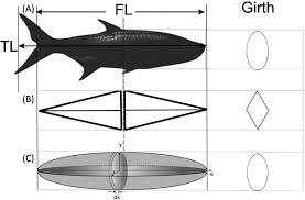 Geometric Relationships Between Individual Body Morphometry