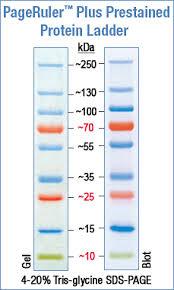 Pageruler Prestained Protein Ladder Plus Abo Odczynniki I