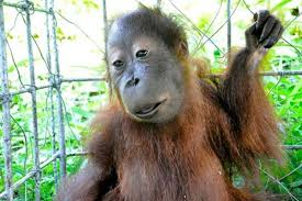 Image of: Cute Chimp With Defects All Thats Interesting Animals With Down Syndrome Debunking This Mistaken Trend