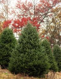 What Kind Of Christmas Trees Are There