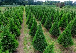Image result for christmas tree farms