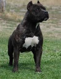 black american staffordshire terrier.  Black Gaffu0027s Thief Of Gold A Black Brindle American Staffordshire Terrier Owned  By Mount Brier Farms On Black Terrier Pinterest