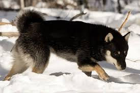 genko a black and tan hokkaido ken and mother of the first litter whelped in usa