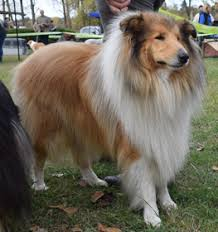 Rough Collie Information Dog Breed Facts Dogell Com