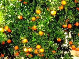 orange fruit tree oranges orange tree