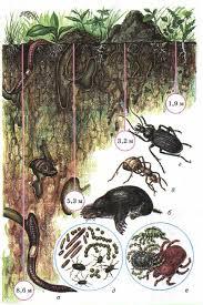 Почва образование состав свойства Ботаника Реферат доклад  Почвенные организмы а дождевые черви б кроты в муравьи г жуки д почвенные бактерии е мелкие насекомые клещи