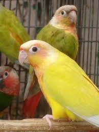 Green Cheek Conure Mutations Parrot Forum Parrot