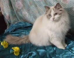 Small Picture Blue Ragdoll Cats Blue Point Ragdolls Blue Mitted Colorpoint