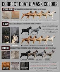Cane Corso Growth Chart Mastiff Growth Chart Lovely Correct Cane Corso Colors Dogs I