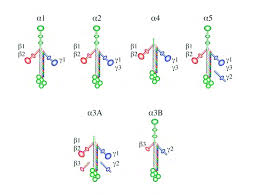 laminin molecule diagram wiring diagram info laminin structure and chain composition scientific diagram laminin molecule diagram