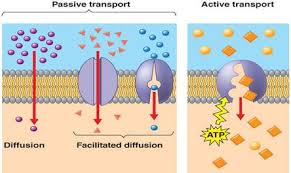 3 Types Of Passive Transport Topic 1 4 Membrane Transport Amazing World Of Science With