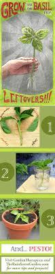 Kitchen Scrap Gardening Growing Basil From Cuttings Garden Therapy