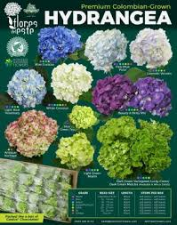 Jet Fresh Flowers New Variety Chart Flores Del Este Hydrangea