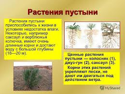 Презентация на тему Зона пустынь В России полупустыни и пустыни  4 Растения