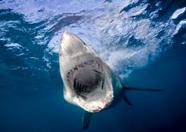 facts about great white sharks national geographic kids take a deep breath gang as we dive deep to get the lowdown on one of the ocean s deadliest predators in our great white shark facts