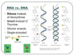 Dna Rna Venn Diagram Compare And Contrast Dna Rna Venn Diagram Figure 1 Tropicalspa Co