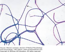 Gram Positive Bacilli Gram Positive Rods Review Of Medical Microbiology And Immunology