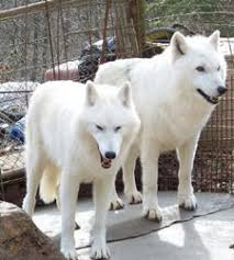 pure white wolf pup. Wonderful Pup And Pure White Wolf Pup U