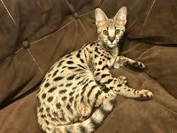 savannah cat for pa savannah cat breeders pa