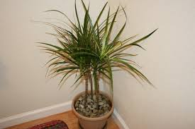 Palm Tree Decor For Bedroom Indoor Palm Trees Cat Palm Tree Care Small Pygmy Date Palm Tree