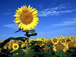 Sonnenblume Gedicht Kinderspiele Weltde