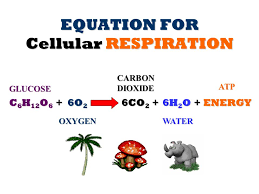 overall equation for cell respiration jennarocca