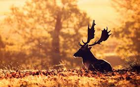 4k deer wallpapers