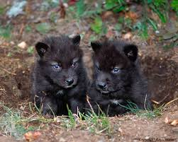baby black wolf with blue eyes. Two Black Wolf Pups With Blue Eyes Wolves Are Endangered Inside Baby Pinterest
