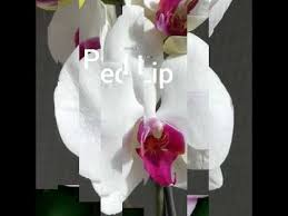 Сорта фаленопсисов - цвет БЕЛЫЙ (<b>White</b> phlaenopsis catalog ...