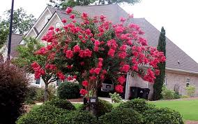 Image result for red rocket crepe myrtle