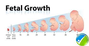 Embryo Chart Growth How Fetal Length And Weight Can Be Measured With Fetal
