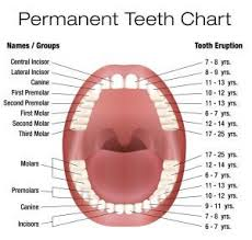 Canine Tooth Eruption Chart Your Children S Dentist In Center Explains Tooth