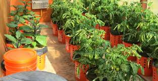 how to grow peppers and tomatoes in self watering buckets