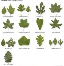 Ohio Leaf Identification Chart Michigan Tree Identification By Leaf Identify Trees By